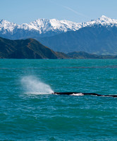 Sperm Whale, Kaikoura, South Island, New Zealand