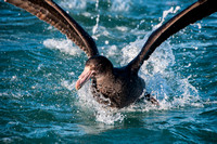 Giant Petrel off the Kaikoura Coastline, New Zealand